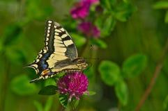 Vlinder zuigende nectar van Bloem royalty-vrije stock foto's