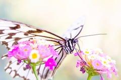 Vlinder zuigende nectar van roze bloem royalty-vrije stock afbeeldingen