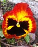 Vlinderbloem Royalty-vrije Stock Foto
