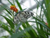 Vlinderbloem in Garten Royalty-vrije Stock Fotografie