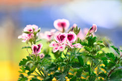 Vlinderbloemen Royalty-vrije Stock Foto's