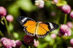 Vlinderbloemen Stock Fotografie
