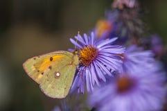 Vlinderburjatica Stock Fotografie