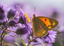 Vlinderburjatica (saturidae) Royalty-vrije Stock Afbeeldingen