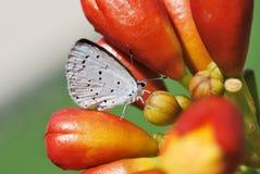 Vlinderclose-up Stock Afbeeldingen