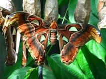 Vlindercocon Royalty-vrije Stock Foto