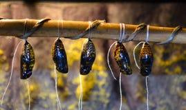 Vlindercocon stock afbeelding