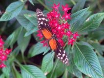 Vlinderdraagwijdte Royalty-vrije Stock Foto's