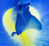 Vlindererwt Stock Afbeeldingen