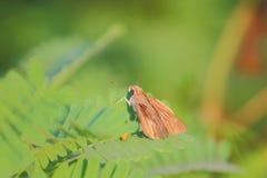 Vlinderkapiteins Royalty-vrije Stock Foto's