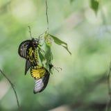 Vlinderkoppeling op blad Royalty-vrije Stock Foto