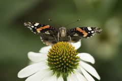 Vlindermacro royalty-vrije stock foto's