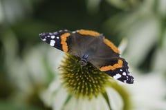 Vlindermacro Royalty-vrije Stock Foto