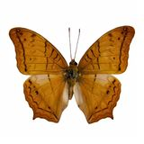 Vlindermateriaal: Kruiser royalty-vrije stock afbeelding