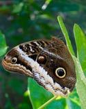 Vlinderogen Stock Foto