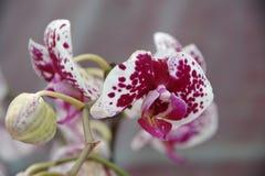 Vlinderorchidee Stock Afbeeldingen