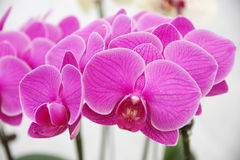 Vlinderorchidee Royalty-vrije Stock Afbeelding