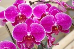 Vlinderorchidee Stock Afbeelding
