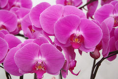 Vlinderorchidee Royalty-vrije Stock Foto's