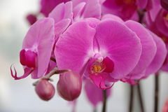 Vlinderorchidee Stock Foto
