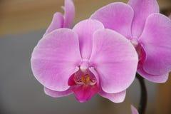 Vlinderorchidee Stock Foto's