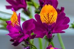 Vlinderorchidee Royalty-vrije Stock Foto