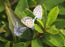 Vlinderpaar het koppelen Stock Afbeeldingen