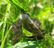 Vlinderpaar het koppelen Stock Foto's