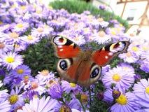 Vlinderrust op bloem stock foto's