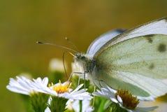 Vlinderrust op Kleine, Witte Bloemen Stock Afbeeldingen