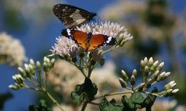 Vlinders in bushveld die vlucht nemen Royalty-vrije Stock Fotografie