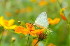 Vlinders in de tuin, vlinder bij het oranje bloemonduidelijke beeld Als achtergrond stock afbeeldingen