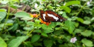 Vlinders die bloemen zuigen stock afbeeldingen