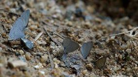 Vlinders die mineraal van grond drinken stock footage