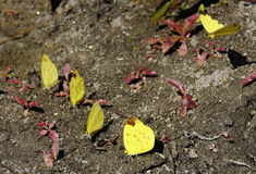 Vlinders, die mineraalwater van Reshi-rivieroever verzamelen door modder te puddelen, Reshikhola, Sikkim Royalty-vrije Stock Fotografie