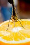 Vlinders die nectar zuigen Stock Afbeelding