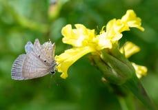 Vlinders die vleugels niet hebben Stock Fotografie