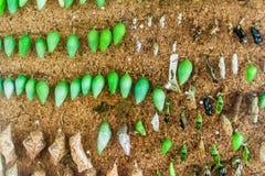 Vlinders in een stadium van Poppen stock foto's