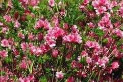Vlinders en Azalea's Royalty-vrije Stock Afbeelding