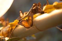Vlinders en lamp Stock Afbeelding
