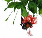 Vlinders en orchidee Stock Afbeeldingen