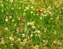Vlinders en witte clower Royalty-vrije Stock Fotografie