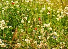 Vlinders en witte clower Stock Fotografie