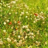 Vlinders en witte clower Royalty-vrije Stock Foto