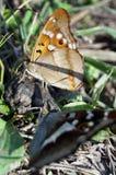 Vlinders met zwarte en bruine vleugels Stock Fotografie