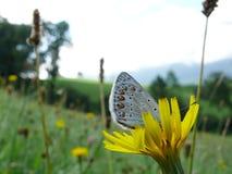 Vlinders op bergbloemen royalty-vrije stock afbeeldingen