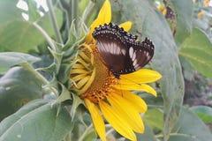 Vlinders op bloeiende zonnebloem stock foto