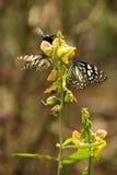 Vlinders op de bloem Stock Foto