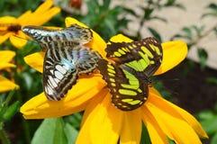 Vlinders op de zonnebloem Stock Fotografie