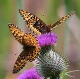 Vlinders op distel Stock Afbeeldingen